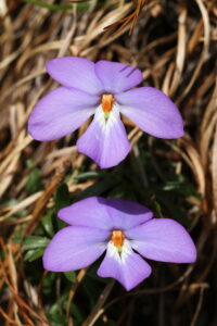 Mountain Birdsfood Violet